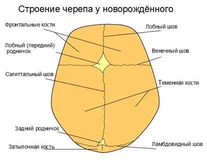 строение черепа новорождённого