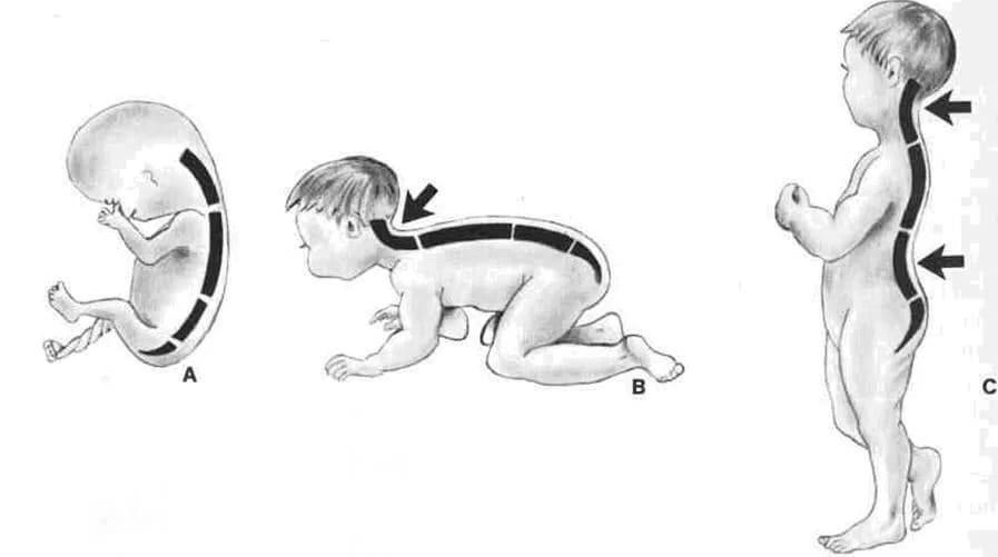 Формирование позвоночных изгибов у ребёнка